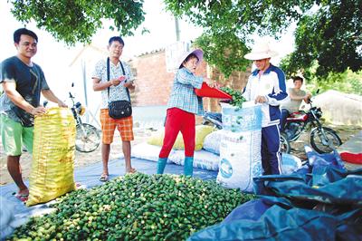 澄迈县文儒镇槟榔收购点
