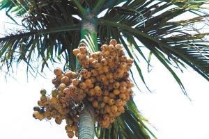槟榔传奇(组图)