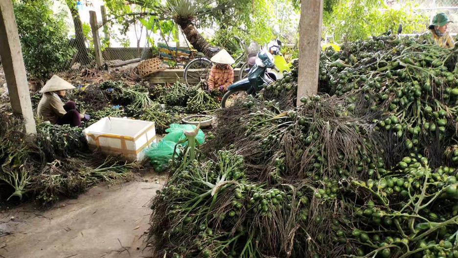 海南槟榔生果